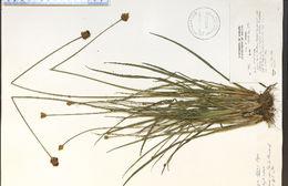 Image of bog yelloweyed grass