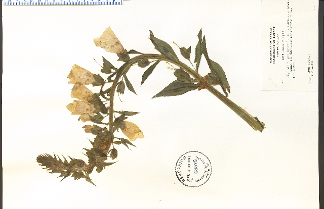 Image of foxglove