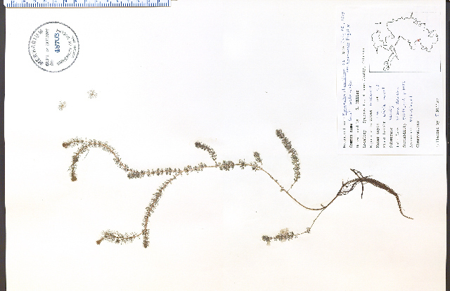 Image of Alternate Water-milfoil