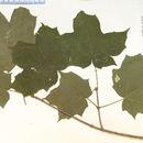 Image of black maple