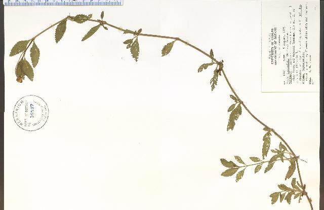 Image of lanceleaf fogfruit