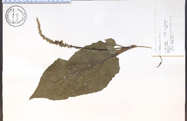 Image of Dark Mullein