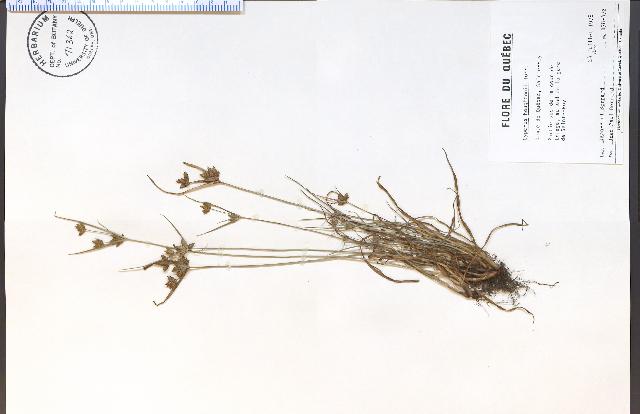 Image of Houghton's flatsedge