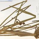 Image of American bur-reed