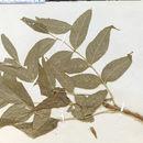 Image of blue ash