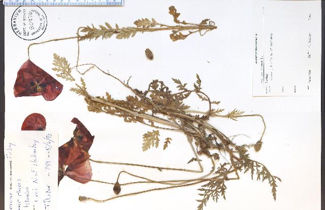 Image of corn poppy