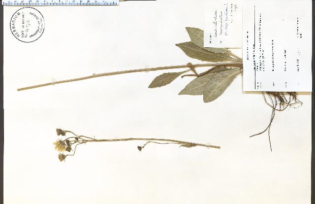 Image of common hawkweed