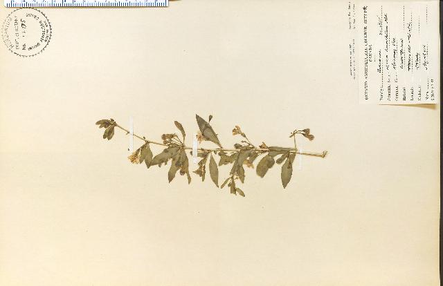 Image of matrimony vine