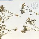 Image of spring fumewort