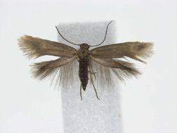Image of <i>Heliozelidae gen</i>