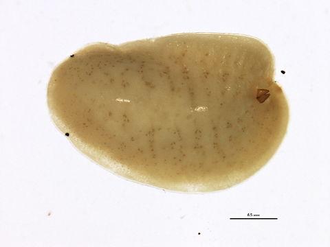 Image of Cottony pigface scale