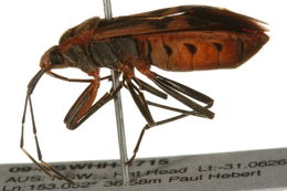 Image of Bordered Plant Bugs