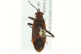 Image of <i>Leptocoris mitellata</i>
