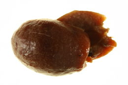 Image of <i>Apiomorpha pileata</i> (Schrader 1863)