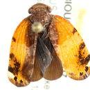 Image of Eurybrachidae