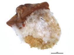 Image of <i>Pulvinariella mesembryanthemi</i> (Vallot 1829)