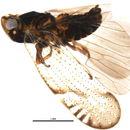 Image of Gelastocephalus