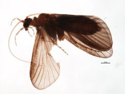 Image of <i>Limnocentropus himalayanus</i> Martynov 1930