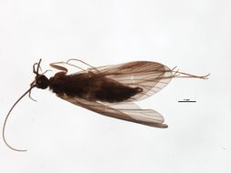 Image of <i>Wormaldia copiosa</i> (Mc Lachlan 1868)