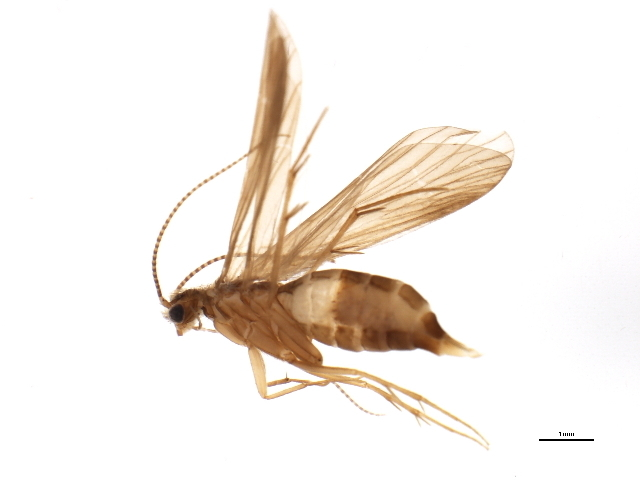 Image of <i>Wormaldia mediana</i> Mc Lachlan 1878