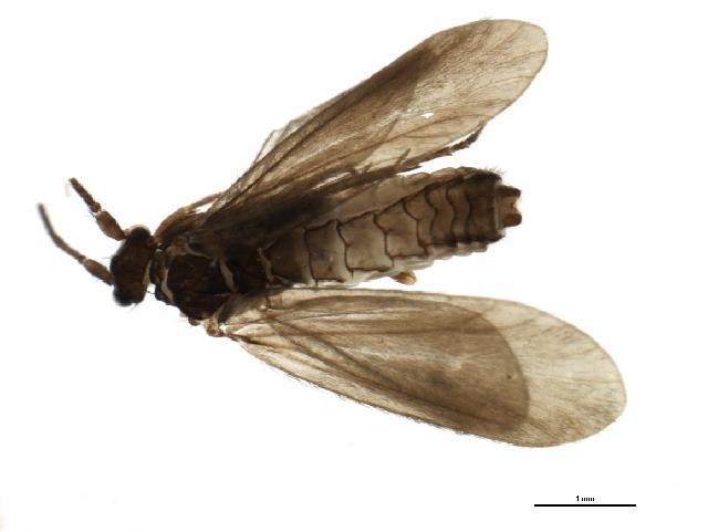 Image of Beraea