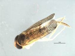 Image of Trichocorixa