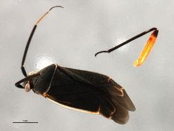Image of <i>Polymerus brevirostris</i> Knight 1925