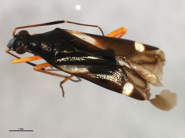 Image of <i>Orectoderus obliquus</i> Uhler 1876
