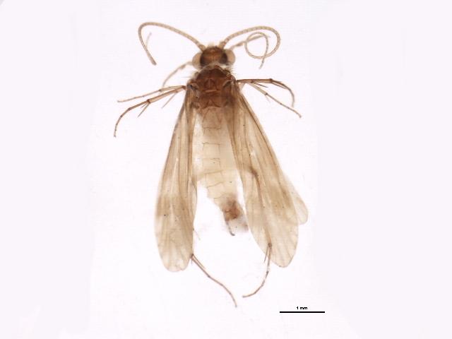 Image of <i>Ecnomus tenellus</i> (Rambur 1842)