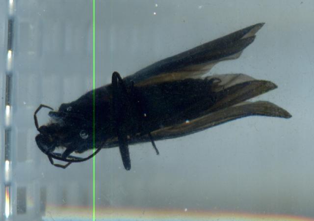Image of <i>Limnocentropus auratus</i> Malicky & Chantaramongkol 1989