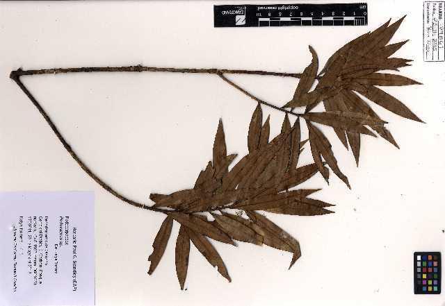 Image of Yellowwood