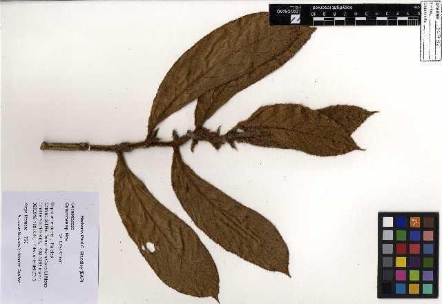 Image of columnea