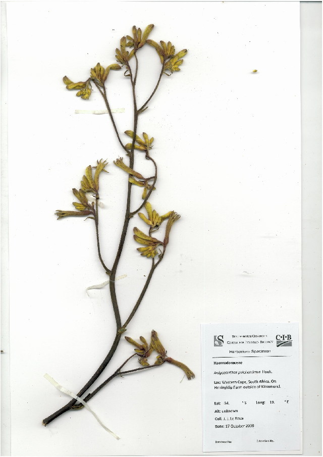 Image of bloodwort family