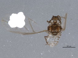 Image of Pine aphid