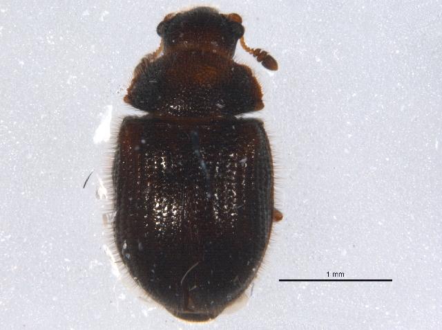 Image of <i>Eurysphindus hirtus</i> Le Conte 1878