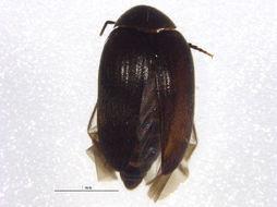 Image of <i>Eucinetus morio</i> Le Conte 1853