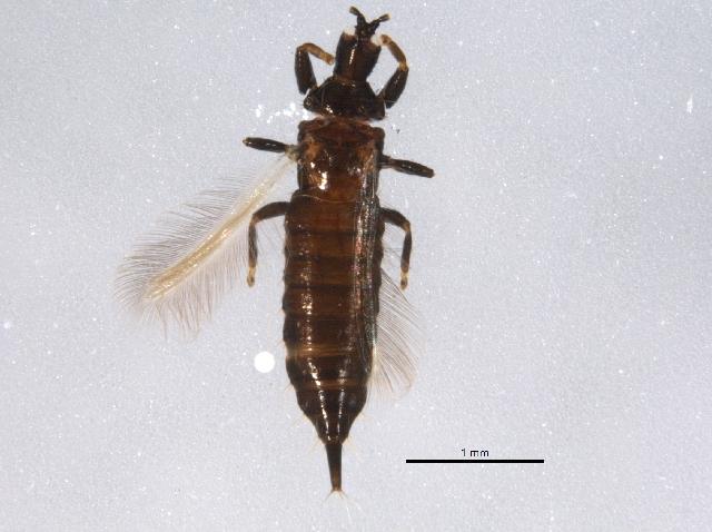 Image of <i>Hoplothrips japonicus</i> (Karny 1913)