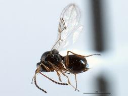 Image of <i>Leptopilina clavipes</i> (Hartig 1841) Hartig 1841