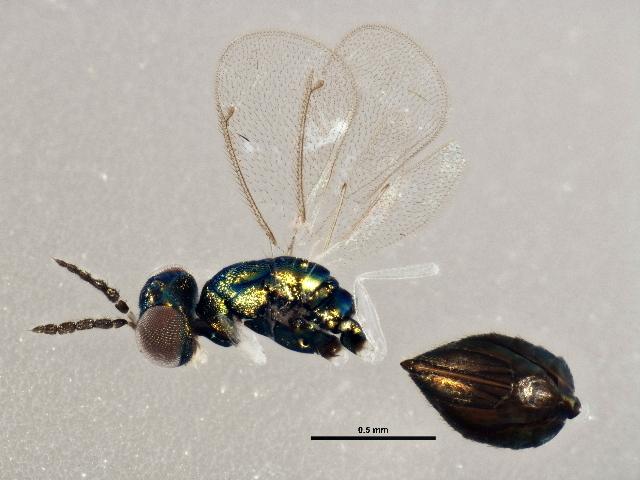 Image of Achrysocharoides