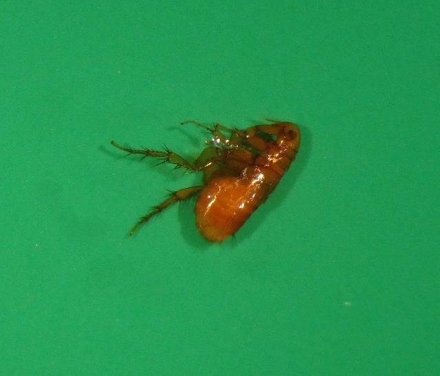 Image of Xenopsylla