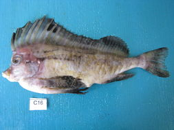 Image of pigfishes and horsefishes
