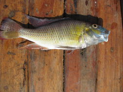 Image of Thoracochromis