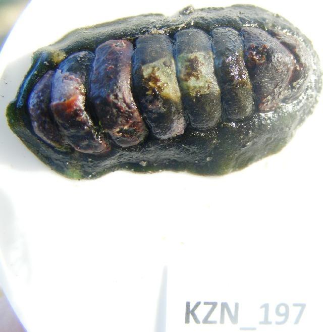 Image of Chitonidae