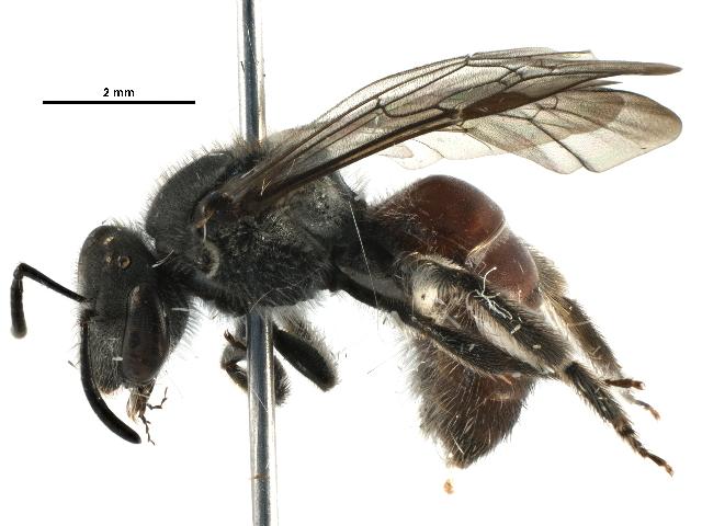 Image of <i>Lasioglossum hiltacum</i> (Smith 1853)