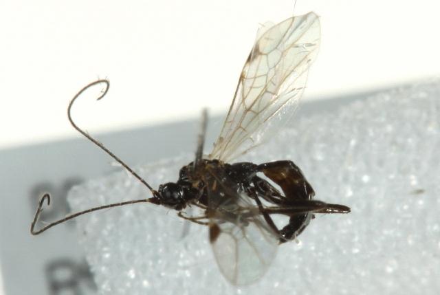 Image of <i>Macrocentrus rubromaculatus</i> (Cameron 1901)