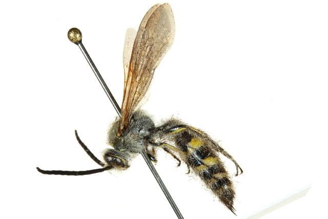 Image of <i>Radumeris tasmaniensis</i> (Saussure 1854)