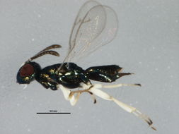Image of <i>Eupelmus australiensis</i> (Girault 1913)