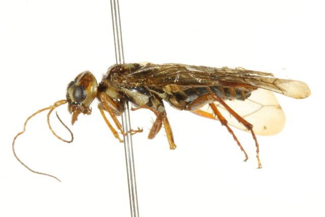 Image of Cephalciinae