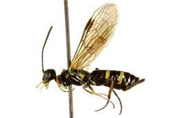 Image of Cephinae