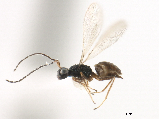 Image of <i>Ooctonus arizonensis</i>